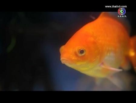 ดูรายการย้อนหลัง ทำไมคนหายใจในน้ำไม่ได้เหมือนปลา