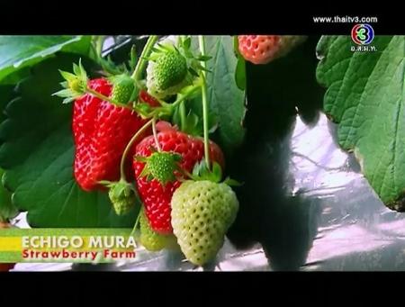 ดูละครย้อนหลัง Echigo Mura Strawberry Farm