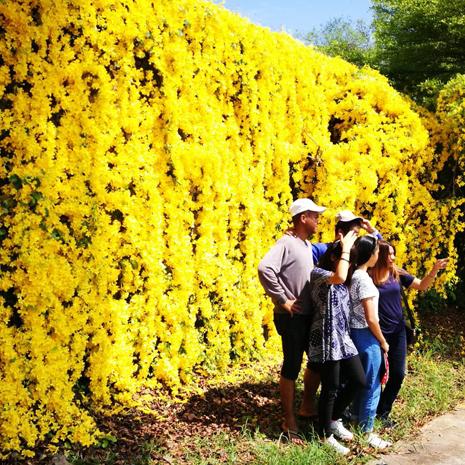 แกลเลอรีช่อง3 ปาลิโอ เขาใหญ่ ชวนชมดอกเหลืองชัชวาลย์ บานสะพรั่งเหลืองอร่ามรับซัมเมอร์